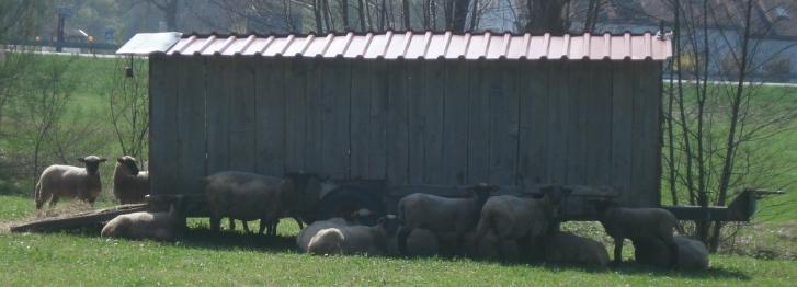 Auch Schafe mögen es (nicht) heiss