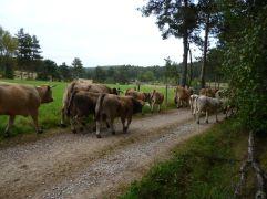 Kühe ziehen vorbei (Fotorechte: schrittWeise)