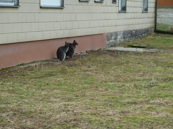 Zwei Kängurus (Fotorechte: Dario schrittWeise)