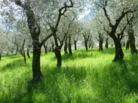 Olivenbäume (Fotorechte: Dario schrittWeise)